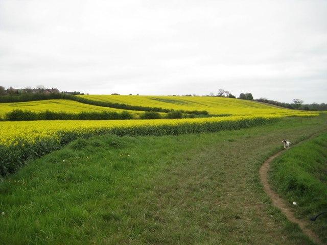 Rape crop(1), westerly view