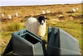 NZ8405 : Sheep by the grit bins by Steve Daniels