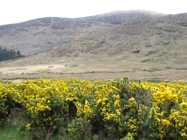Whins on a dry slope above the Tullybranigan River bog