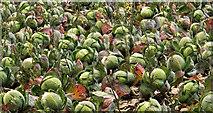 J4772 : Cabbages near Newtownards by Albert Bridge
