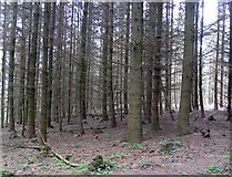 SO5101 : Mature conifers by Richard Webb