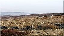 NN8403 : Dyke, Black Hill by Richard Webb