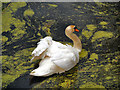 SD7706 : Mute Swan by David Dixon