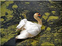 SD7706 : Mute Swan by David Dixon
