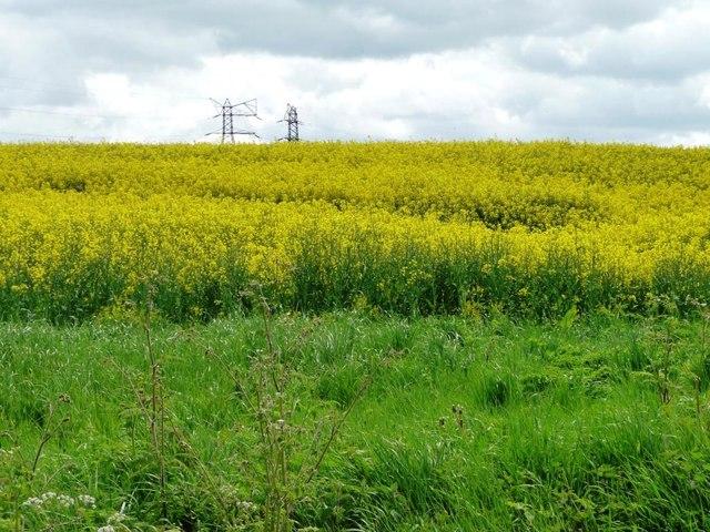 Oilseed rape field near Sudlow Farm