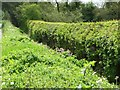 SJ7275 : Streamlined hedge, chaotic verge by Christine Johnstone
