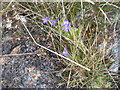 NM3124 : Butterwort [Pinguicula vulgaris] at Kintra by M J Richardson