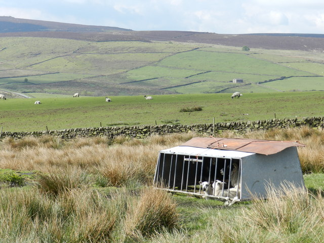 Ewe and lambs in shelter