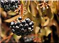 J4582 : Ivy berries, Helen's Bay (1) by Albert Bridge