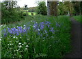 SK6202 : Bluebells along Shady Lane by Mat Fascione