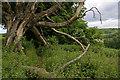 TQ3554 : Dead tree by Ian Capper