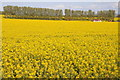 SO8545 : Oilseed rape field, Clifton by Philip Halling