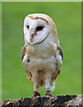 TF4323 : Barn Owl, Long Sutton Falconry Centre, Lincolnshire by Christine Matthews