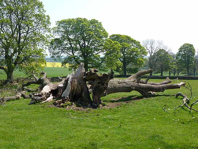 Fallen tree, Cambo