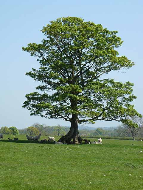Oak tree near Prior Hall Farm