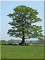 NZ0385 : Oak tree near Prior Hall Farm by Oliver Dixon