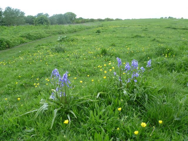 Bluebells on Mill Hill, Mitcham Common