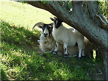 NX1896 : Sheep and Lamb by Billy McCrorie
