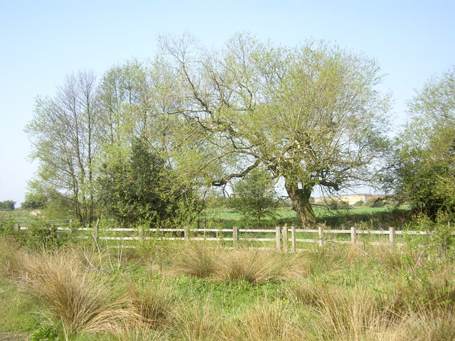 A gnarled willow by the River Gaunless
