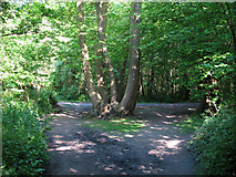 TQ6895 : Coppiced tree at path junction by Roger Jones