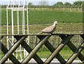 NZ0263 : Collared Dove at Brocksbushes by Stanley Howe