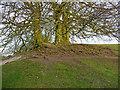 SU1070 : Avebury - Tree Roots by Chris Talbot