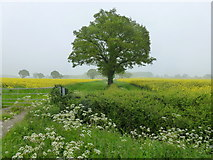 SO7729 : Oak in late spring by Jonathan Billinger