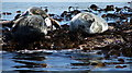 NU2438 : Basking Grey Seals by Christine Westerback