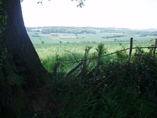 Hedgerow With Mature Oak Near Dagnall