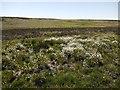 NU0131 : Bog cotton, Doddington Moor by Andrew Curtis