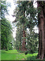 SP9911 : Wellingtonia tree trunks in the gardens at Ashridge House by Chris Reynolds