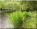 SX7368 : Royal ferns by the Dart by Derek Harper