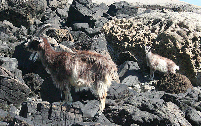 Goat and Kid © Anne Burgess cc-by-sa/2 0 :: Geograph Britain and Ireland