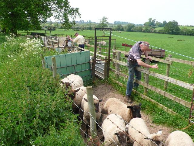 Sorting the Sheep (2)