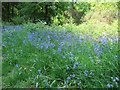 NX4350 : Bluebells in the Forest by Bill Nicholls