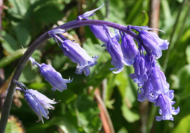 Wild Hyacinth (Hyacinthoides... © Anne Burgess cc-by-sa/2.0 ...