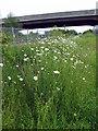 NZ3071 : Ox-Eye Daisies by Christine Westerback