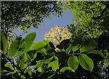 SX9364 : Elder flower below Bishop's Walk by Derek Harper