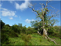 G7278 : Ash tree at The Lough Head by louise price
