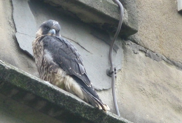 Peregrine Falcons in Sheffield