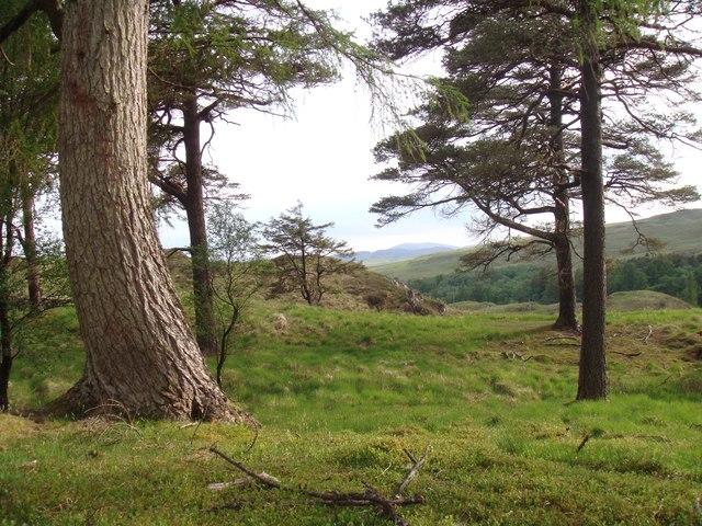 Scots Pine in Ness Glen