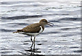 NT2422 : A common sandpiper at St Mary's Loch by Walter Baxter