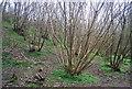 TQ8931 : Coppicing, Ratsbury Wood by N Chadwick