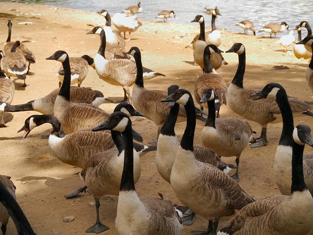 Canada Geese, Heaton Park Lake