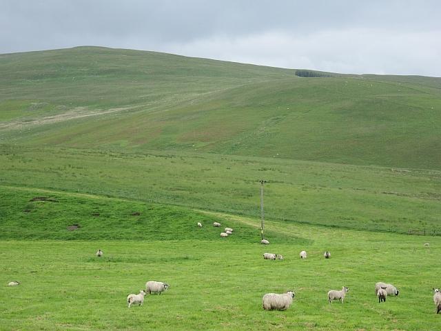Sheep, Glen Devon