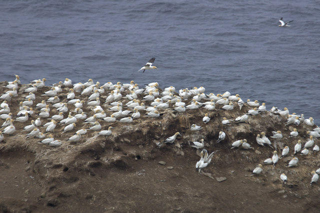 Gannets on Clingra Stack, Hermaness