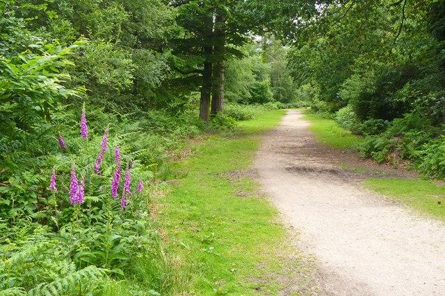 Wild Foxgloves in Set Thorns Inclosure