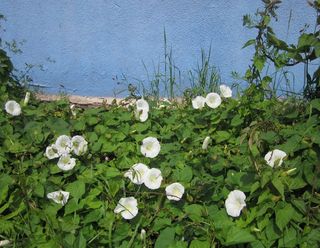 Great bindweed by Parkhurst Road, Torquay