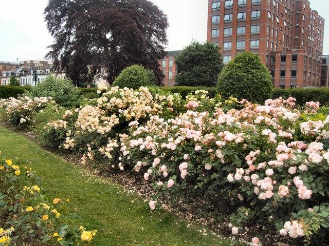 Roses in Scented Garden