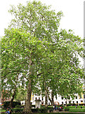 TQ2881 : Plane trees in Cavendish Square by Stephen Craven
